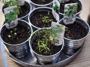 Herbes aromatiques en pot